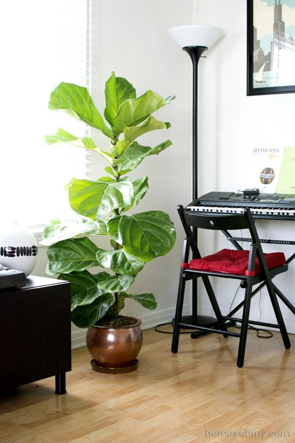 fiddle leaf fig - Fiddle Leaf Fig Tree